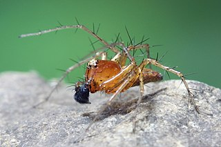 Lynx spider Family of spiders