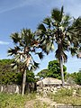 P1080424- Borassus akeassii - Casamance.jpg