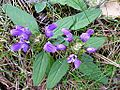 PRUNELLA GRANDIFLORA - BÒFIA - IB-950 (Prunel·la grandiflora).JPG