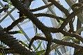 Pachypodium geayi 1zz.jpg