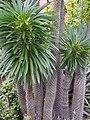 Pachypodium lamerei 2014-10-12 05.jpg