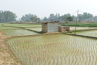 Paddy fields in Dinajpur District 01.jpg
