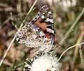 Painted Lady Cynthia cardui 5 (3822826646).jpg