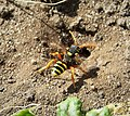 Painted Nomad Bee, Nomada furcata, visiting nest holes of Andrena flavipes , it's host (29741546758).jpg