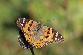 Painted lady (Vanessa cardui) Sweden.jpg