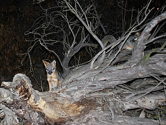 San Francisquito Creek - Pair of gray foxes (Urocyon cinereoargenteus), the only tree-climbing canid in the Americas, den and forage for rodents, grasshoppers and berries near the mouth of Matadero Creek in the Palo Alto Baylands