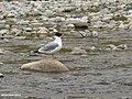 Pallas's Gull (Larus ichthyaetus) (37597346311).jpg