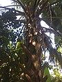 Palma de Sombrero 003.JPG