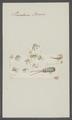 Pandarus boscii - - Print - Iconographia Zoologica - Special Collections University of Amsterdam - UBAINV0274 100 03 0014.tif