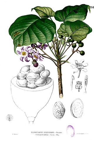 Achariaceae - Pangium edule