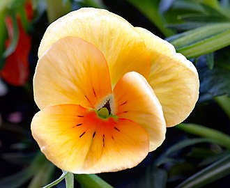 Freethought - The pansy, symbol of freethought