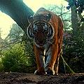 Panthera tigris (5486749112).jpg
