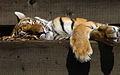 Panthera tigris altaica.jpeg