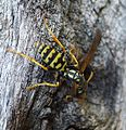 Paper wasp. Polistes sp. (dominula^) - Flickr - gailhampshire.jpg