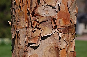 Paperbark Maple Bark