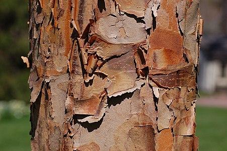 Paperbark Maple Bark