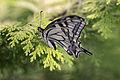 Papilio machaon(js)01.jpg
