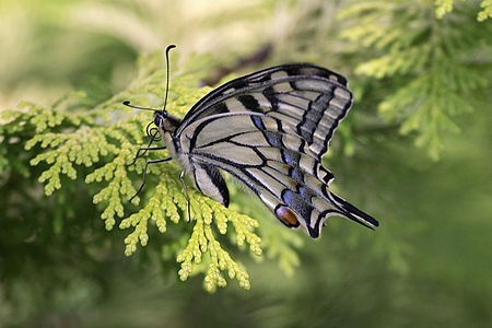 Papilio machaon(js)01.jpg