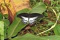 Papilio polymnestor Cramer, 1775 – Blue Mormon at Mayyil (7).jpg