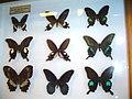 Papilioniae7.jpg