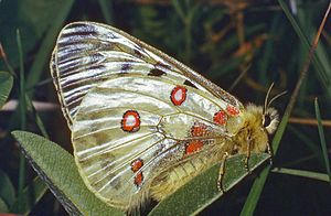 Apollo (butterfly) - Underside
