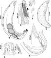 Parasite140083-fig1 Figs 1-7 Neoechinorhynchus (Hebesoma) spiramuscularis.tif