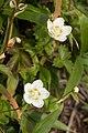 Parnassia palustris 01.jpg