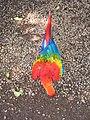Parrot rainbow.jpg