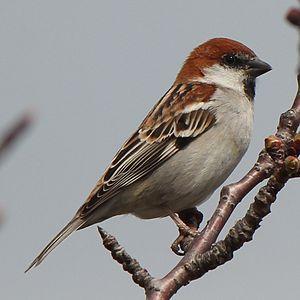 Russet sparrow - Image: Passer rutilans