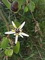 Passiflora bogotensis.jpg
