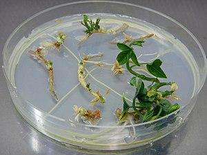 Passiflora in vitro plant regeneration Annalisa Giovannini DSCN0544.jpg