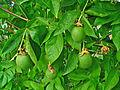 Passiflora incarnata 004.JPG