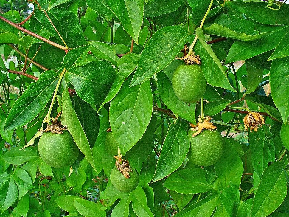 Passiflora incarnata 004