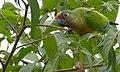 Peach-fronted Parakeet (Eupsittula aurea) feeding on small black fruits ... - 48205461866.jpg