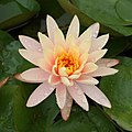 Peach Glow water-lily at Brooklyn Botanic Garden edit.jpg