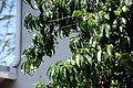 Peach Tree 6 2013-06-30.jpg