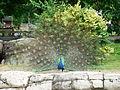 Peacock at the Springfield Illinois Zoo.JPG
