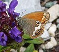 Pearly Heath. Coenonympha arcania. (16008935839).jpg
