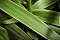 Pecteilis radiata fma. variegata '金星 - Kinboshi' (Thunb.) Raf., Fl. Tellur. 2 38 (1837) (50296143367).jpg