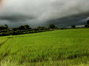 Akkaraipattu - Peddy field - Rice crop