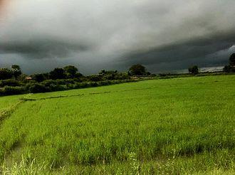 Akkaraipattu - Peddy field - Rice crop