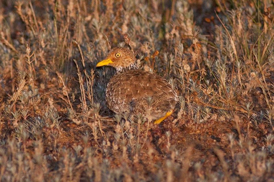 Pedionomus torquatus, South Australia 2