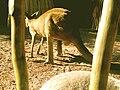 Pee Pee Kangaroo (4965001289).jpg