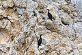 Pelagic cormorant (35688979014).jpg