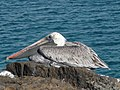 Pelican at rest... (5837628890).jpg