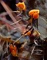 Peltigera membranacea 834197.jpg