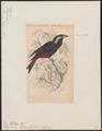 Peltops blainvilii - 1838 - Print - Iconographia Zoologica - Special Collections University of Amsterdam - UBA01 IZ16500005.tif