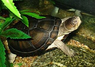 <i>Pelusios</i> genus of reptiles