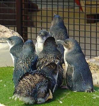 Penguin Island (Western Australia) - Image: Penguins 933cue