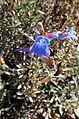 Penstemon heterophyllus Electric Blue kz2.jpg